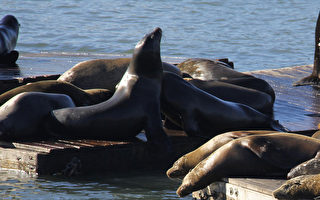旧金山39号码头 家庭合欢观海狮
