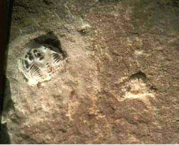 鞋印放大後,看見左上方有隻三葉蟲。(圖片提供/Creation Evidence Museum)