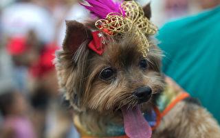 組圖:巴西寵物嘉年華 造型狗兒競豔