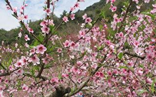 【花意诗心】桃李之花 粉红香白未争妍