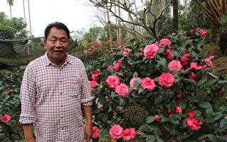 三宝山茶花园 绝美花容免费参观