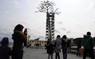 歷經海嘯的「樹堅強」 日本「奇蹟松」