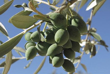 希臘的橄欖果(Sean Gallup/Getty Images)