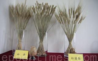 活化休耕地  農改場推廣種小麥