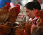 大陸H7N9 疫情不斷南下,4月30日,福建省新增1例人感染H7N9,廣東活雞被檢出疑似帶有H7禽流感病毒。目前大陸確診感染H7N9人數增至126人,24人死亡。隨著五一長假來臨,港人擔心H7N9病毒會隨遊客帶入香港。(大紀元資料庫)