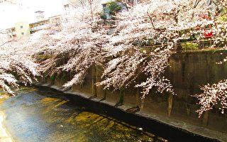 春水悠悠花盛放 东京樱花见花情