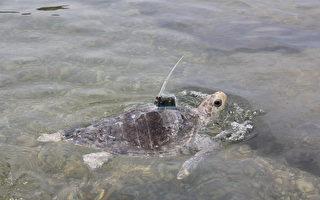 保育欖蠵龜康復  衛星追蹤器野放