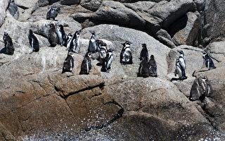 智利漢波德企鵝瀕臨絕種