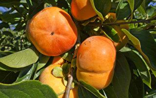 组图:澳洲秋 柿子熟