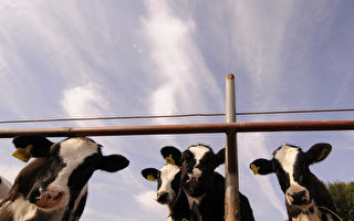 中國已成高奶價國家 平均奶價趕超歐美