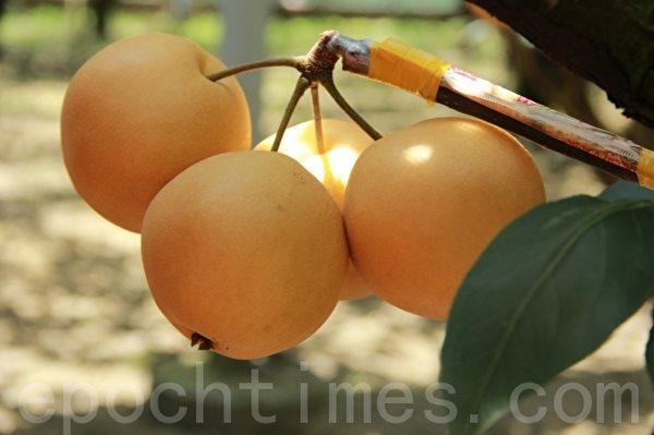 高掛在枝頭的上將梨。(攝影:謝月琴/大紀元)