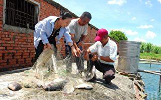 台灣鯛價格崩盤  張花冠替漁民請命