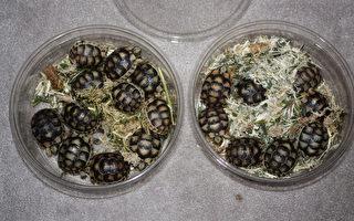 華男走私逾70活龜 被加拿大海關查獲