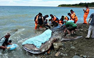 野放鲸鲨恐死  台动保团体吁检讨