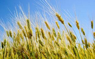 全球主要农作物价格涨 家庭食品支出将增加