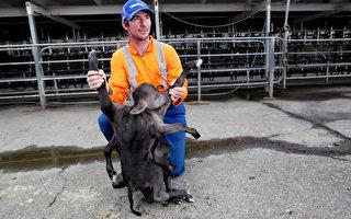新西蘭母牛產怪胎 1頭2身4耳8腿