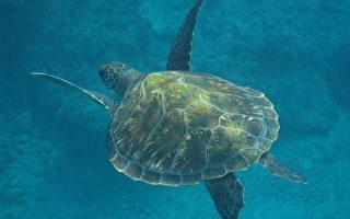 小琉球绿蠵龟 装追踪器野放