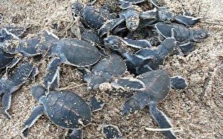 小琉球绿蠵龟  装卫星追踪器
