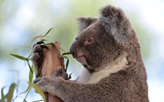 南澳袋鼠岛2.5万只考拉恐已烧死 恢复需数年