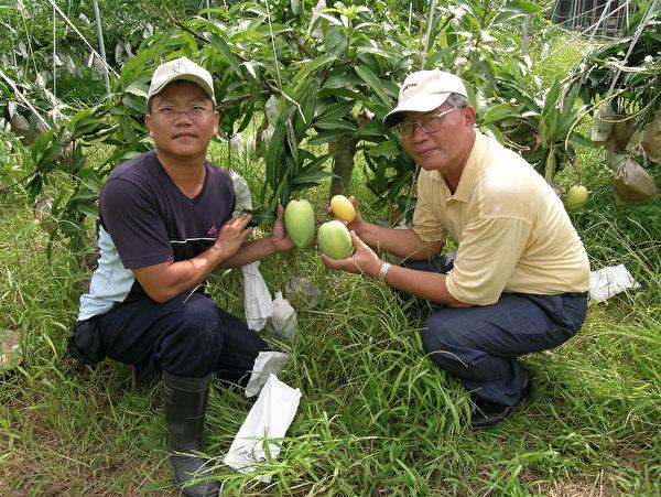 屏東農民潘連進(左)將傳統綠皮土芒果改良成金黃色,而且還通過藥物殘留輸日標準檢驗,準備挑戰日本消費者挑剔的味蕾。(潮州鎮公所提供)