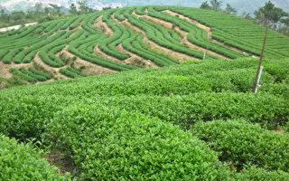 淡泊心境 傳播中華茶文化 品之味茶莊的「放下」和「得到」