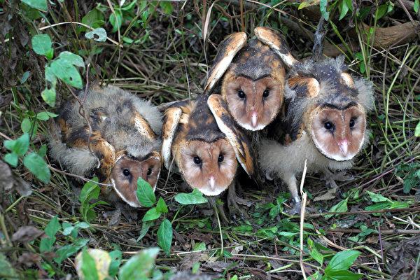 高雄市野鳥學會驚喜首見草鴞育雛,這是台灣首見草鴞育雛紀錄畫面。草鴞是台灣貓頭鷹家族唯一築巢在草地上,也是瀕臨絕種的保育一級野生動物。(高雄市野鳥學會提供)
