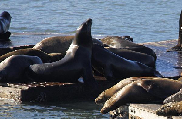 旧金山39号码头的海狮中心经常挤满了海狮。(大纪元)