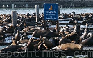 海狮进驻旧金山24周年 海洋生态需重视