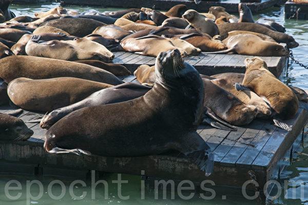 1月17日,在39號碼頭聚集了500多頭海獅,海獅進駐舊金山已有24年。(林驍然/大紀元)