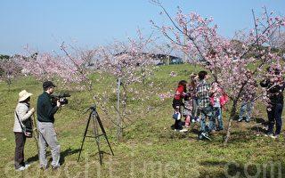 小半天櫻花冬筍季   賞櫻品茗嘗鮮筍