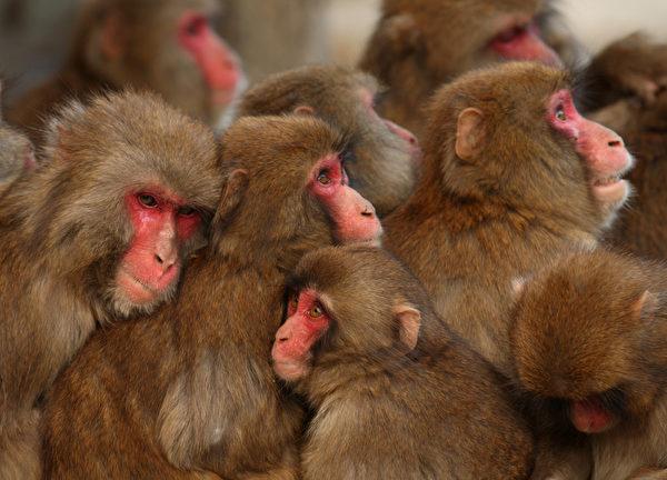 同样是日本猕猴,生活在相对偏南一些的兵库县淡路岛的猴子们就没有那么幸运,冬日严寒之中,它们只有靠相互间拥作一团来取暖避寒。(Buddhika Weerasinghe/Getty Images)