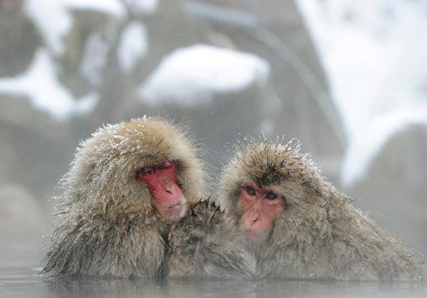 1月19日,日本长野县地狱谷,大雪中日本猕猴集体泡温泉取暖避寒,享受的欲罢不能。日本猕猴,也叫雪猴,是生活在日本北部的一种猕猴,在地狱谷约160只雪猴生活在那里,每年冬季有很多好奇的游客都会前来一睹雪猴泡温泉的奇景。(TOSHIFUMI KITAMURA/AFP)