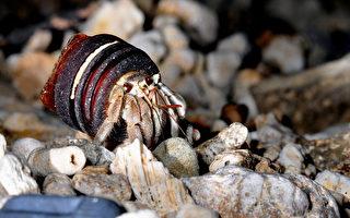 寄居蟹背瓶蓋 海生館推「不撿貝殼」