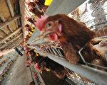 大陆鸡肉达十年来最低价 588只鸡为1头猪净利