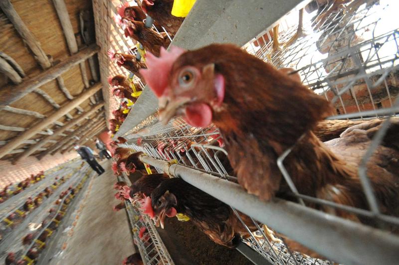 大陸雞肉達十年來最低價 588隻雞為1頭豬淨利