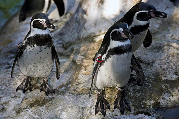 英陰雨連綿 企鵝吃藥抗憂鬱