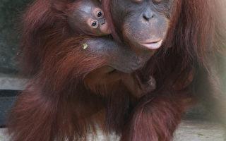 红毛猩猩宝宝超萌 抓紧妈不放