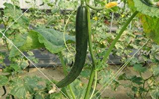 小黃瓜無農藥栽培 農試所推新技術