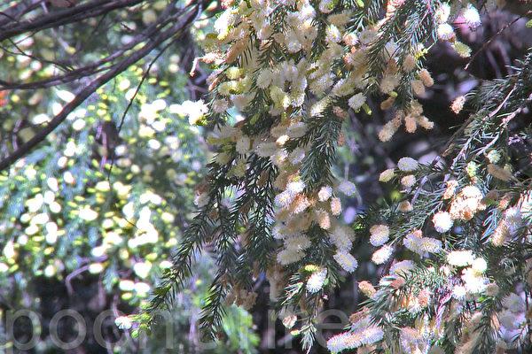 舊金山灣區花粉季提前到 中醫應對花粉症