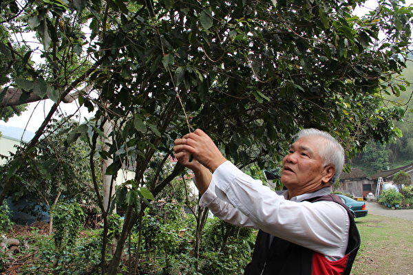 郑肇平的姊夫陈先生指着成熟的咖啡果实呈红色,采摘下来的咖啡果实,经过脱皮等处理成为生咖啡豆。(李撷璎/大纪元)