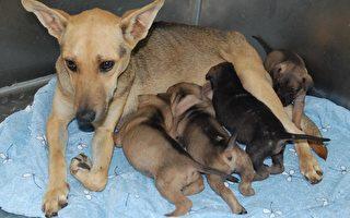 瘦母狗哺育  動保團體幫坐月子