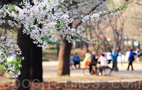 韩国首尔樱花盛开。(全宇/大纪元)