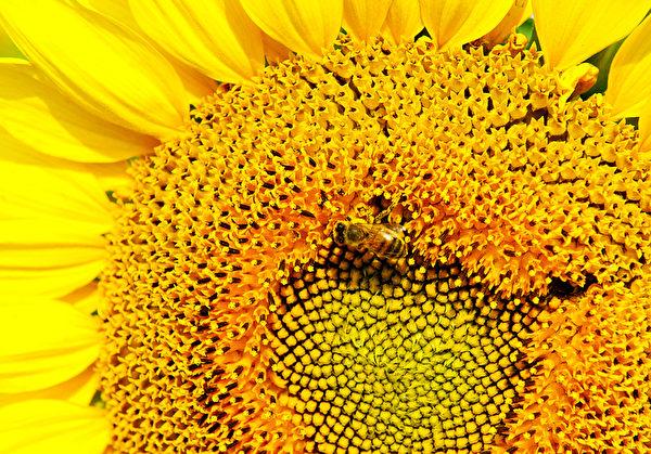 蜂花粉含有丰富胡萝卜素和22种氨基酸和酶的。(Karen BLEIER/AFP)