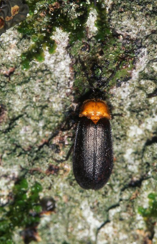 国人赏萤首选的奥万大国家森林游乐区目前已发现有15种萤火虫,其中以黑翅萤数量最多。(南投林管处提供)