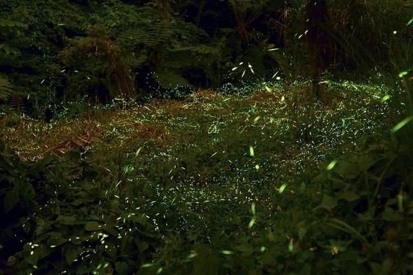 台湾台中市新社区抽藤坑社区的萤火虫。(苏玉芬 / 大纪元)
