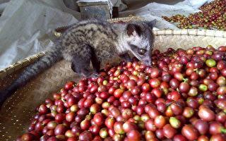 挑嘴麝香貓只愛好豆  咖啡回甘