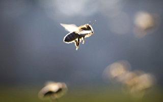 蜜蜂自發棄巢 科學家:殺蟲劑是真凶