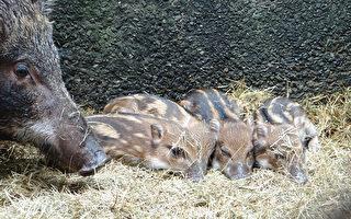 野猪花妈产龙凤胎  端午节见客