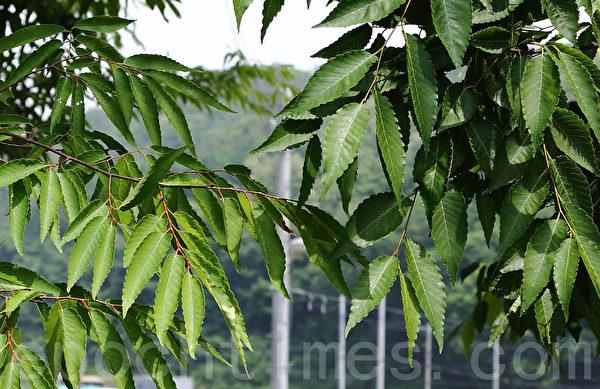 """尤尼特仁 (UniTein)具有促进细胞再生功能。图为两棵相邻的树,右侧的树经过""""尤尼特仁""""制作过程中的废水浇灌后,叶片明显比左侧的树叶肥厚宽大。(大紀元圖片)"""