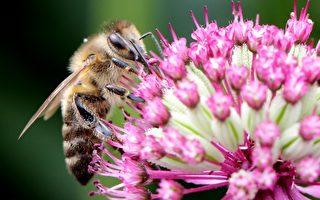 蜂群劇減損農業經濟 美國設授粉部隊拯救